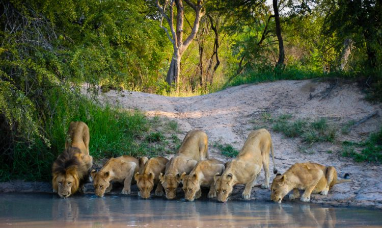 Pride of Lions in Mala Mala